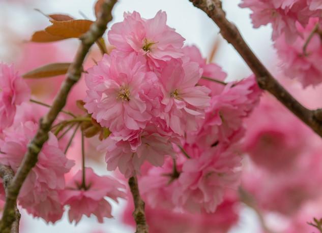 Cherry Blossom in April by John Starzewski