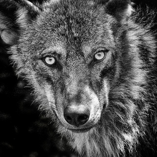 Andalucian Wolf