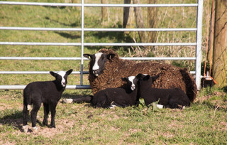Zwartbles Ewe and her Triplets By Gerald Marsh