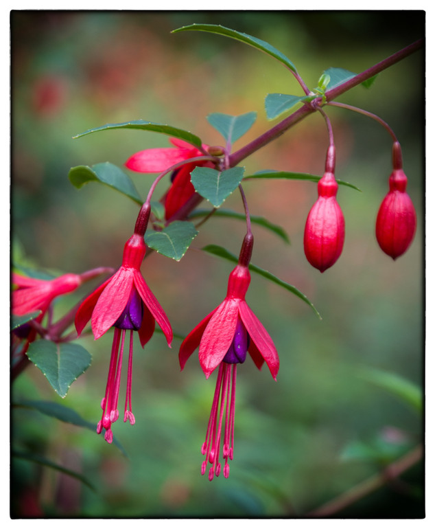 Fuchsia Jewels