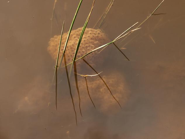 Frog spawn in muddy pond by Caroline Starzewski