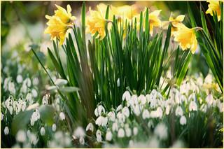 Spring Bulbs by Nicky Rhodes