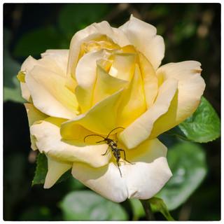 Longhorn Beetle on Peace Rose