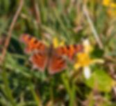 Comma butterfly.jpeg