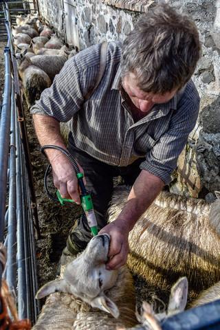 Sheep Drench