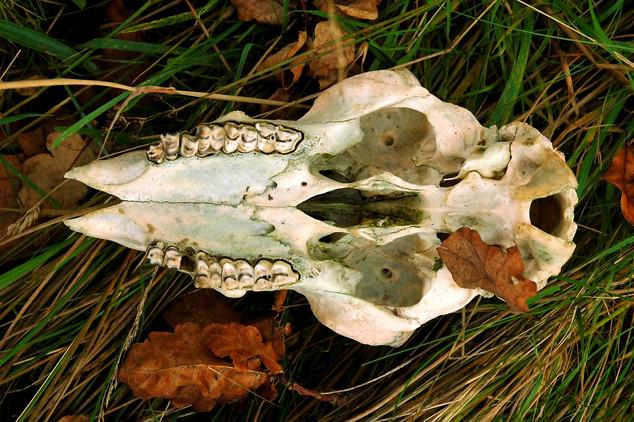 Sheep Skull.jpg