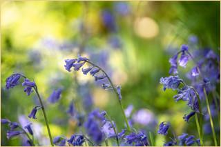 Bluebells in May by Nicky Rhodes.jpg