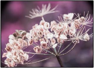 Purple Seedhead