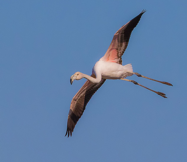 Flamingo on finals