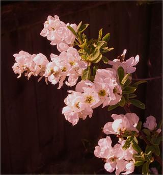 Blossom By John Hufferdine