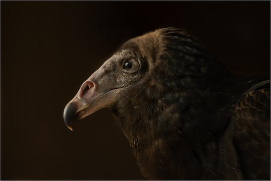 Alan Evans - Turkey Vulture Portrait