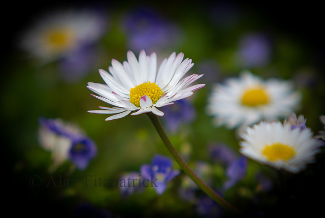 Spring Daisy By Alan Fitzpatrick