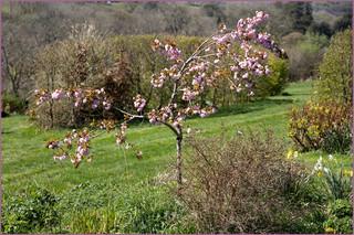 Cherry Blossom by Nicky Rhodes
