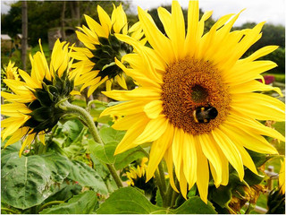Sunflower & Bee.jpg