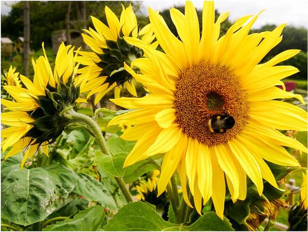 Sunflower & Bee.jpg