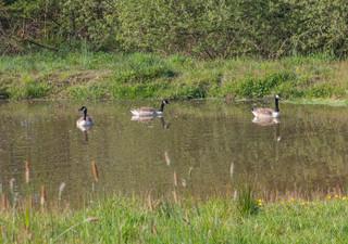Geese 26 April by John Starzewski