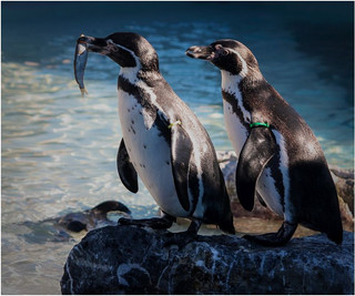 Humbolt penguins.jpg