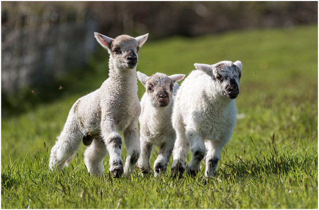 Trio of Lambs by Nicky Rhodes