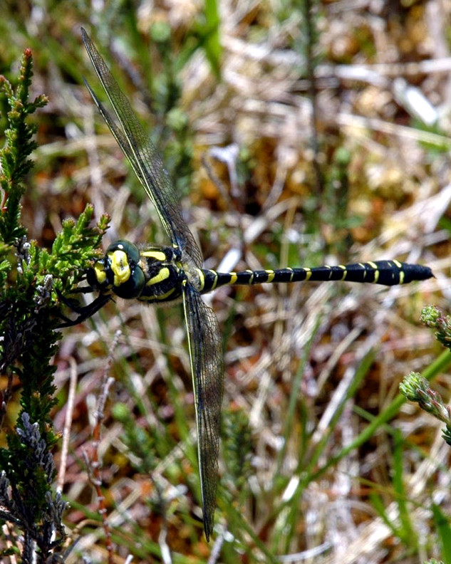 Dragonfly scotland.jpg