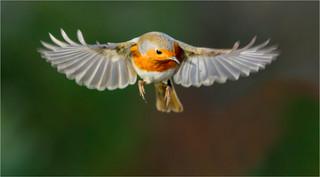 Hovering Robin.jpg