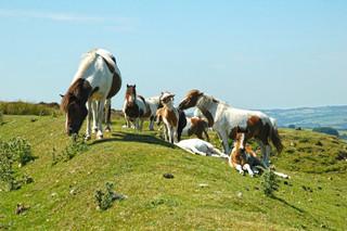 Horses on Llanllwni.jpg