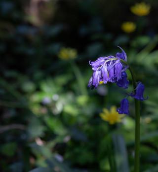 Bluebells in April by John Starzewski