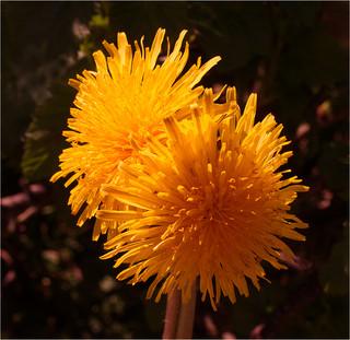 Dandelion By John Hufferdine
