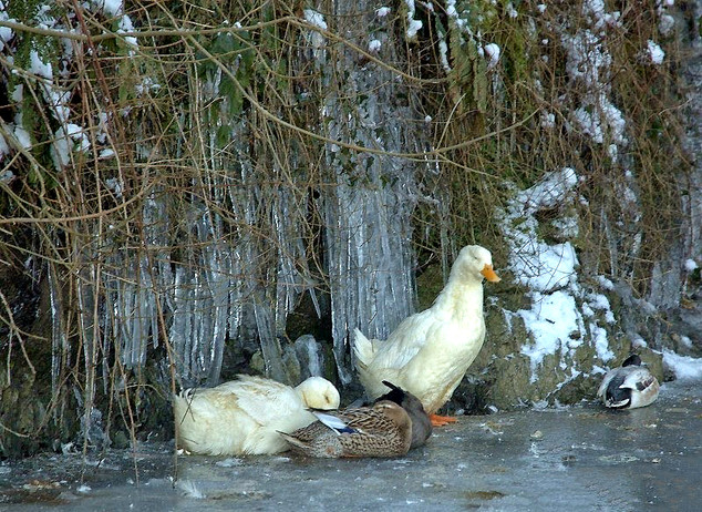 Frozen Ducks.jpg