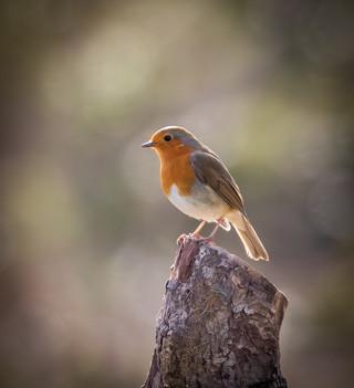Robin on a stick by John Starzewski