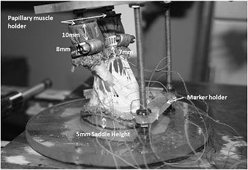 mitral valve paper.jpg