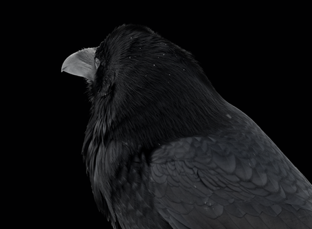 Facts about Ravens