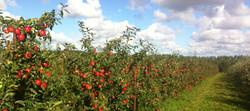 Æbleplantage Aarhus