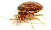 Bed Bugs Boston