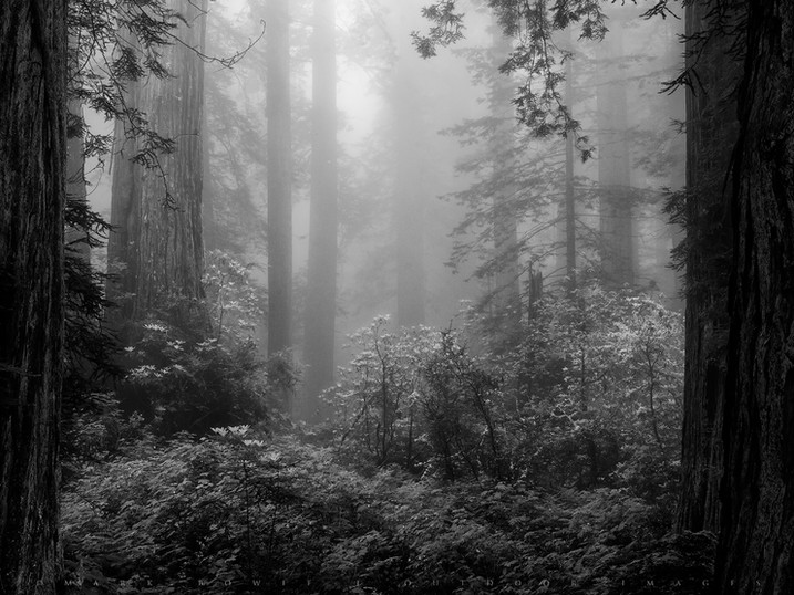 Window on Rhododendron in Fog, Del Norte Coast Redwoods State Park, California
