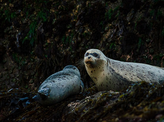 Lounging Seals, Bandon Beach, Oregon