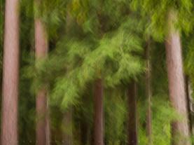Pine Abstract, Along Little Green Pond, St Regis Canoe Wilderness, Adirondacks, New York
