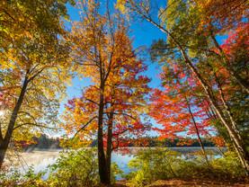 Blazing Backlit Fall Foliage Along Rollins Pond, Adirondacks, New York