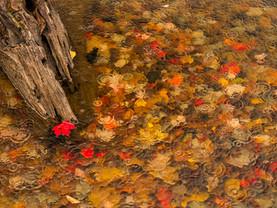 Maple Leaf on Rain-Dappled Seventh Lake, Adirondacks, New York