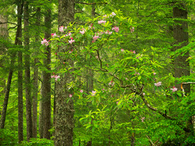Rhododendron Bloom, Near Proxy Falls, Oregon