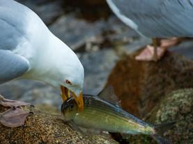 Fresh Catch, Herring Run, Stony Brook, Cape Cod, Massachusetts