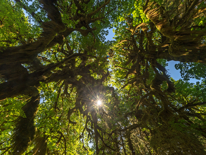 Sunburst, Hoh Rain Forest, Olympic National Park, Washington