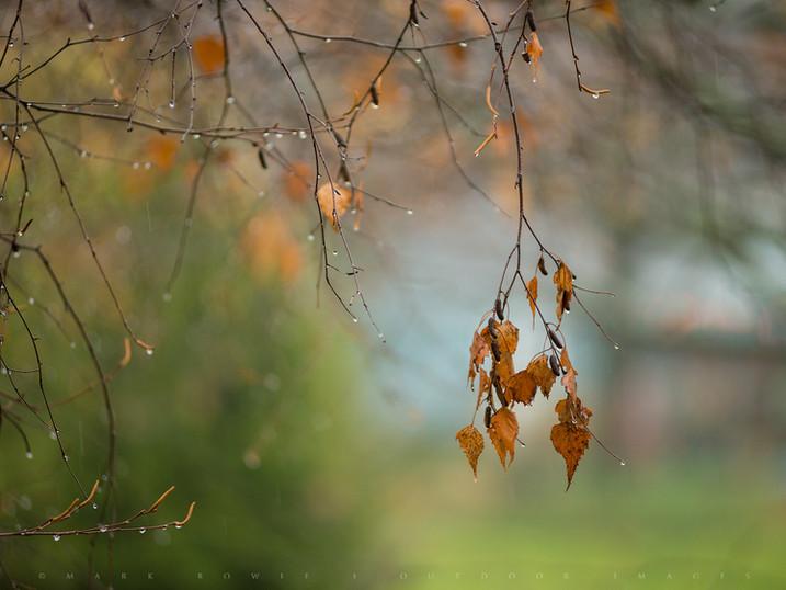 Beech Leaves in the Rain, Pittsfield, The Berkshires, Massachusetts