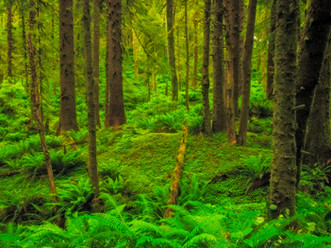 Forest Amongst the Ferns, Ecola State Park, Oregon