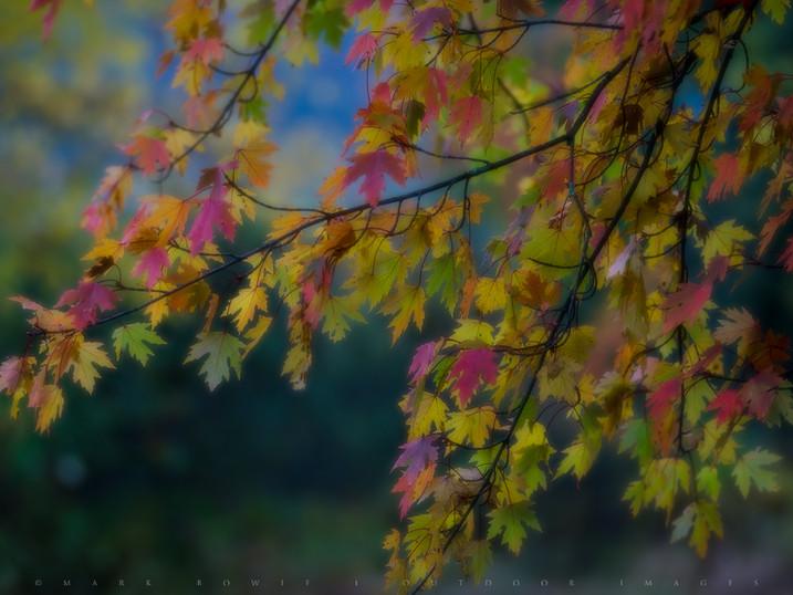 Twilight's Glowing Maples, Adirondacks, New York