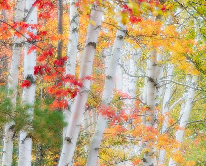 Aura of Birches, Along the Shore of Lake Durant, Adirondacks, New York