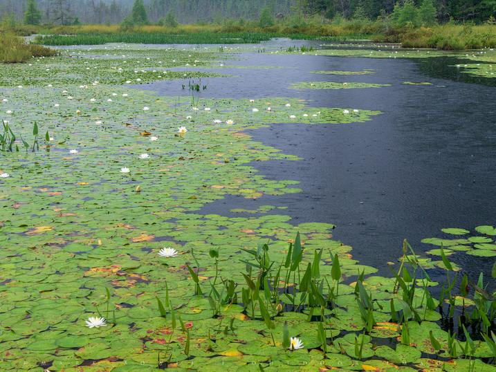 Lilies in a Rain Storm, Marsh Along Raquette Lake, Adirondacks, New York