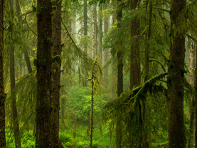 Seeing the Tree Through the Forest, Ecola State Park, Oregon