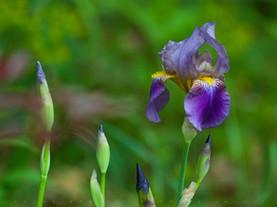 Purple Iris, Pittsfield, The Berkshires, Massachusetts