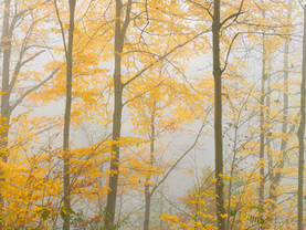 Yellow Foliage in Fog Along the Hudson River, Village of Lake Luzerne, Adirondacks, New York