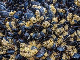 Mollusks & Barnacles, Bandon Beach, Oregon